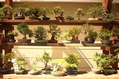 Tiny Trees, Deep Roots: The History of Bonsai in the Bay Area | 7x7