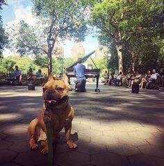 http://washingtonsquareparkerz.com/frenchiebombed-colinatwork-sunday-washingtonsquarepark-nyc/   #frenchiebombed #colinatwork #sunday #washingtonsquarepark #nyc