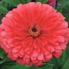 "50 Seeds, Dahlia Flowered ""Giant Coral"" (Zinnia Elegans) Seeds by Seed Needs by Seed Needs: Flowers. $2.15. These Dahlia Flowered plants grow to a mature height of about 40 to 50 inches tall. Easy planting instructions along with a colorful picture printed on each ""Seed Needs"" packet!. Each plant produces 4 to 6 inch Coral blossoms. This plant prefers an area of full sunlight & a rich soil filled with organic matter. Quality Dahlia Seeds Packaged by ""Seed Needs"". Similar to ..."