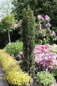 Taxus baccata 'Fastigiata'