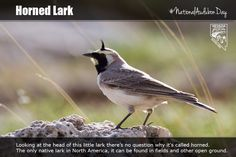 Horned Lark – Looking at the head of this little lark there's no question why it's called horned. The only native lark in North America, it can be found in fields and other open ground.