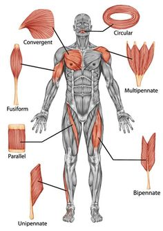Our bodies are composed of over 650 muscles, which is divided into 3 major categories: the cardiac or heart muscle, the smooth muscles and the skeletal muscles that enable us to execute moves through voluntary contractions. Muscle Belly, Heart Muscle, Muscle Anatomy, Body Anatomy, Human Anatomy, Anatomy Male, Medical Anatomy, Types Of Muscles, Full Body