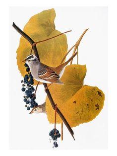 audubon White birder Nature art Bird Outdoor Tree Swallow Watercolor Print watercolor