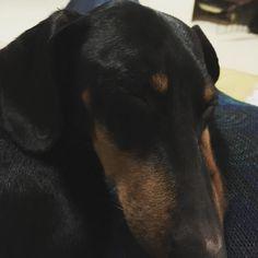 Primera etapa de festes superada  Ara a descansar... #fredthedog #freddy #dauchshundsofinstagram #dauchshund #teckel #mesguapoqueelcrusoe #morebeautythan #crusoedachshund #mardargent