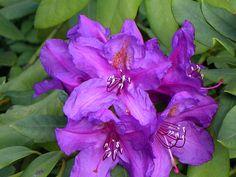 #VantToBiteMyNeck #OPIEuroCentrale rhododendron_lee's_dark_purple.jpg 800×600 pixels http://www.rhodoland.nl/fotos2/rhododendron_lee's_dark_purple.jpg#