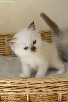 Little funny-faced Siamese kitten.