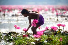 Kala Ksetram, Water lilies of Bangladesh, photos by Moazzem. Mother Language Day, Village Photos, Hindu Culture, Sacred Art, Water Lilies, Natural Wonders, Belle Photo, Pink Roses, Beautiful Flowers