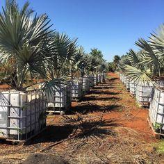 Produção de Palmeira Azul /  pdaspalmeiras@gmail.com /  (19) 98311-4441 /  (19) 3342.8312 / #palm #plantas #plantio #palmeira #palmtree #palmeiras #paisagismo #paisagista #portaldaspalmeiras #instagarden #farm #landscape #landscapedesign #gardendesign #arquitetura #urbanismo #obras #decor #jardim #jardinagem #home #design #gopro #homedecor #work #workhard #plantasornamentais by portaldaspalmeiras