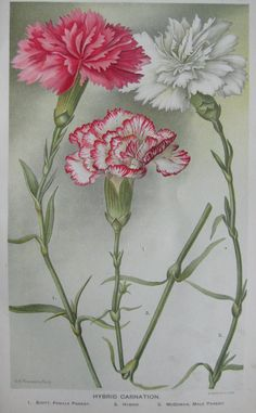 Hey, I found this really awesome Etsy listing at https://www.etsy.com/listing/123446805/antique-flowers-print-carnations