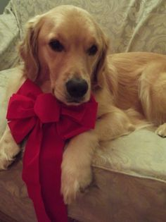 River and his fancy Christmas bow and other pet Christmas photo ideas!