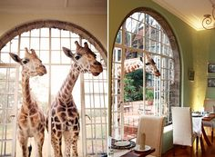 I NEED TO FREAKING GO HERE!   Giraffe Manor, a luxury boutique hotel located 12 miles outside of Nairobi, set up by the African Fund for Endangered Wildlife as a breeding and conservation center for the endangered Rothschild Giraffe.