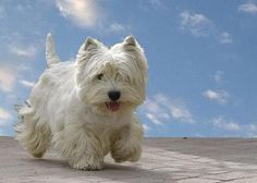 Westie! They are such a sturdy, cute little dog.