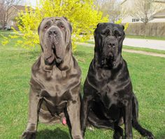 not sure what it is about these guys that i just LOVE! neapolitan mastiff- would love to have one someday