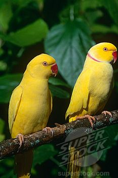 I love Latino Indian ringnecks!! Beautiful birds with the cutest voice!