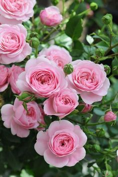 Captivating Why Rose Gardening Is So Addictive Ideas. Stupefying Why Rose Gardening Is So Addictive Ideas. Beautiful Rose Flowers, Flowers Nature, Exotic Flowers, Amazing Flowers, Pink Flowers, Beautiful Flowers, Pretty Roses, Pretty In Pink, Garden Rose Bouquet