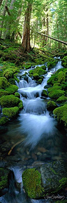 Floresta tropical, no Parque Nacional Olympic, Washington, USA.