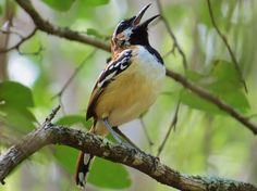 Foto piu-piu (Myrmorchilus strigilatus) por Pedro Teia   Wiki Aves - A Enciclopédia das Aves do Brasil