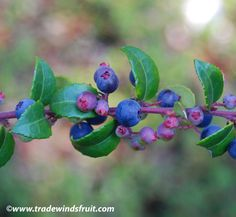 Coast Huckleberry - Found a bunch of ripe, wild huckleberry bushes while walking in the woods near the beach early last fall. Luckily, we had a gathering basket with us. Best muffins ever!