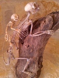 Tamarin monkey skeletons $1,300.00