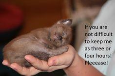 Бурманский котенок из питомника CHATBURDEOA.  Sweet dream Burmese.