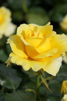Yellow Roses: Ah, The yellow rose of Texas.