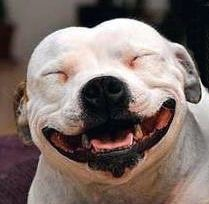 So you want a American Pit Bull Terrier? Smiling Animals, Smiling Dogs, Funny Animals, Cute Animals, Smiling Pitbull, Dogs Pitbull, Cute Puppies, Cute Dogs, Dogs And Puppies
