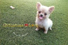 Chihuahuas Love - Publicar Post en Blog de Chihuahuas. Cria de Chihuahuas.