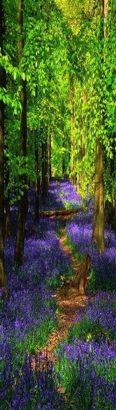 Ashridge Park, Hertfordshire, UK   National Trust Woodlands carpeted with English Bluebells in Spring (2 of 5)   by ukgardenphotos