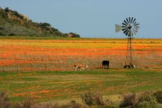 Namaqualand, south africa, field of flower, sunny colors Spring Flowers, Wild Flowers, Flora, Cape Town South Africa, West Coast, Places To See, Beautiful Places, National Parks, Scenery