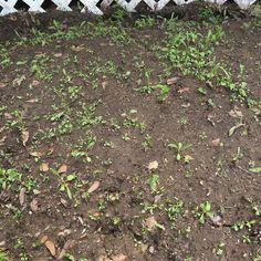 My wild flower garden is starting to grow fast. #springtimeishere #spring #hippie #hippielife #wildflowers