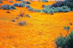 Namaqualand located across the borders of Namibia and (predominantly) South Africa. Throughout the majority of the year Namaqualand looks like most of the region arid and dry but in spring it effloresces into something completely mesmerizing. Paraiso Natural, Namibia, Out Of Africa, Beautiful Places In The World, Amazing Places, Beautiful Things, All Nature, Oh The Places You'll Go, Land Scape