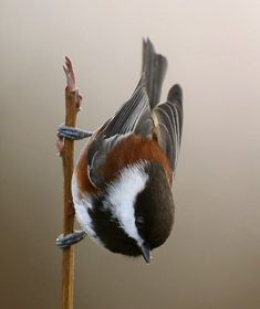 Chestnut-backed Chickadee by Janine Russell