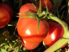 Growing Tomatoes, Vegetables, Food, Essen, Vegetable Recipes, Meals, Yemek, Veggies, Eten