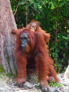#Primates in #Indonesia #TanjungPuting