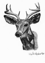 pencil drawing of a Ceous deer or Arizona white tail deer
