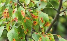 Rostpilze zählen zu den hartnäckigsten Schaderregern im Garten. Wir geben Tipps, wie Sie die Pilze erfolgreich bekämpfen und einer erneuten Infektion vorbeugen können.