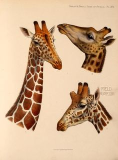 Great and small game of Africa : - Biodiversity Heritage Library