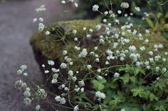 Savisiin kukka-penkkeihin voi suositella alppitähtiputkea Astrantia carniolica, joka kasvaa luonnonvaraisena Alppien kaakkoisosissa.