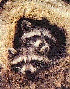 I have always thought Raccoons are adorable! So mischievous :)