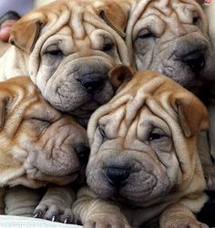 I <3 Shar Peis.  Lookit their smushed little faces!!!!!!