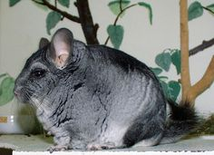 The short-tailed chinchilla species is endangered due to habitat loss and hunting for its fine fur. Chinchilla fur has been used to make fur coats, and it takes up to 400 chinchilla hides to make a single fur coat. Also, their habitat is being destroyed due to mining and wood collecting, and they may also compete with other animals that graze in their habitat.  Population estimates for the Bolivian subspecies are unavailable, and they are presumed rare and possibly extinct.