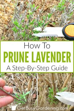 , Pruning lavender is not hard, but it is important to know what you are doing before you start cutting lavender plants in order to avoid over pruning. , Pruning Lavender: A Step-By-Step Guide Growing Lavender, Organic Gardening, Herbs, Lavender Pruning, Gardening For Beginners, Lavender Garden, Container Gardening, Lavender Plant, Lavender Farm