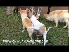 Chihuahuas Love - Madurez Sexual de Un Cachorro Chihuahua. Machos Chihuahua.
