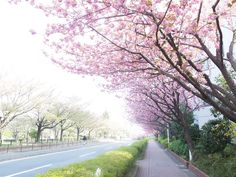 The cherry trees are in full blossom.