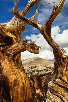 Bristlecone Pine Forest, Sierra Nevada, California :: the bristle cones are almost as worn as the mountains Weird Trees, Bristlecone Pine, California Camping, Nevada California, Old Trees, Tree Forest, Big Tree, Jolie Photo, Belleza Natural
