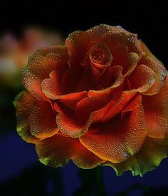 Morning Dew adorns the petals of this Beautiful Rose Rare Flowers, Flowers Nature, Amazing Flowers, Beautiful Roses, Beautiful Flowers, Photo Rose, Ronsard Rose, Dame Nature, Colorful Roses
