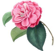 Flower Art Images, Botanical Flowers, Leaves, Rose, Plants, Pink, Plant, Roses, Planets