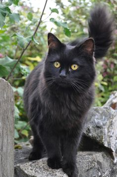 Gorgeous black cat. I love black cats each with different personality. Theincensewoman