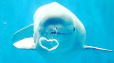 Heart shaped bubble from Beluga Whale ♡ I love this whale. Can we be friends?