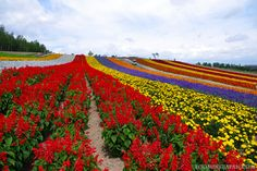 If you're in Hokkaido in summer you need to visit the beautiful flower fields of Biei and Furano.